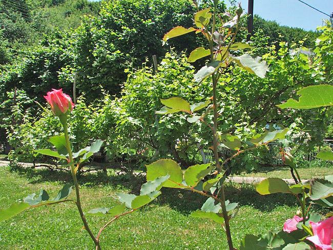 dvorište-ruže
